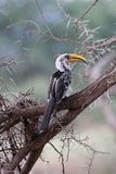 Toucan avec le bec jaune dans l'arbre d'acacia Image stock