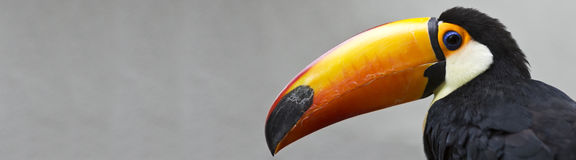 Toucan banner. Portrait of a colorful toucan isolated on a grey background with room for text Stock Image