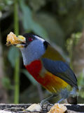 Toucan Barbet Stock Image