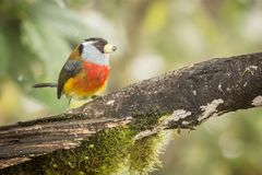 Toucan Barbet in trees. Toucan Barbet, Semnornis ramphastinus, Bellavista, Ecuador, exotic grey and red bird, Wildlife scene from nature. Birdwatching in South Royalty Free Stock Photos