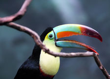 Toucan With Beak Open Royalty Free Stock Photos