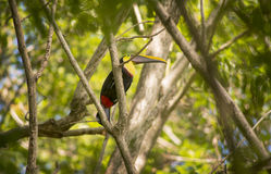 Toucan. A beautiful Toucan sits in a Malinche tree in the Southern Pacific Zone of Costa Rica Royalty Free Stock Images
