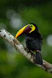 Toucan big beak bird Chesnut-mandibled. Toucan sitting on the branch in tropical rain with green jungle background. Toucan in the Stock Image