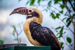 Toucan, Big beak bird. Chesnut-mandibled sitting on the branch Stock Image