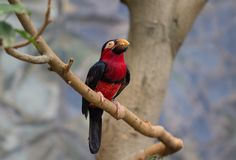 Toucan, Big beak bird. Chesnut-mandibled sitting on the branch Royalty Free Stock Photography