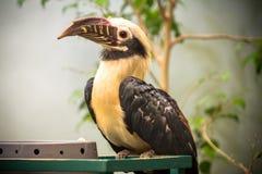 Toucan, Big beak bird. Chesnut-mandibled sitting on the branch Royalty Free Stock Photo