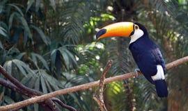 Free Toucan Bird Royalty Free Stock Images - 107590079