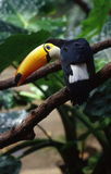 Toucan_bird Fotografia de Stock Royalty Free