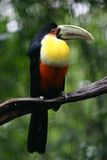 Toucan Bird on a branch, Brazil Stock Photo