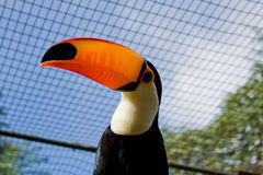 Toucan bird in cage Royalty Free Stock Image