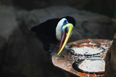 Toucan bird close up photo. While eating Royalty Free Stock Images