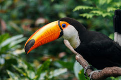 Toucan bird closeup on the nature. Toucan sitting on branch in the forest stock image