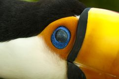 South american toco toucan close up royalty free stock images