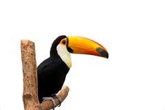 Toucan bird. Exotic toucan bird isolated on white background stock photo