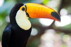 Toucan Bird in Natural Setting Stock Image