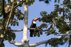 Toucan bird on the nature in Foz do Iguazu, Brazil. Brazilian wildlife royalty free stock images