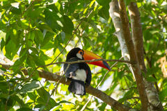 Toucan bird on the nature in Foz do Iguazu, Brazil royalty free stock images