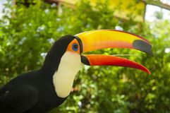 South american toucan bird with open beak. South american mlticolored toco toucan adult bird Ramphastos toco open beak close up stock photography