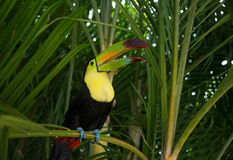 Toucan bird perched in tropical palm tree Stock Image
