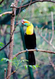 Toucan bird sitting on a branch Stock Photo