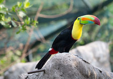 Toucan bird sitting on a rock Stock Photo