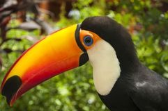 South american multicolored toco toucan close uo. South american multicolored toco toucan adult bird Ramphastos toco long beak close up royalty free stock photo