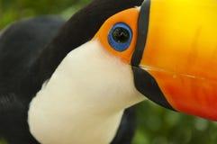 South american toco toucan Bird eye close up. Toco toucan brazilian multicolored bird Ramphastos toco eye close stock photo