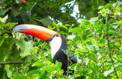 Toucan. Bird tropical fauna in Brazil amazon jungle Royalty Free Stock Images