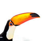 Toucan Bird on White Background Royalty Free Stock Photography
