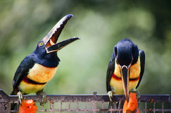 Toucan Birds Eating. Two toucan birds eating on a metal ledge Stock Photo