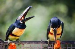 Toucan Birds Eating Stock Photo