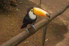 Toucan Blanco-throated fotos de archivo