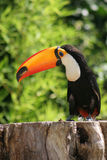 Toucan bonito Fotografia de Stock Royalty Free
