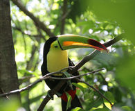 Toucan on branch. Toucan sitting on a branch trying to hide Stock Photos