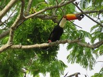 A toucan on the branch Stock Images