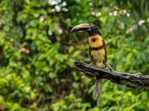 Toucan on branch in profile. Toucan perched on branch. Costa Rica forest. Leaves background. Collared Aracari Stock Images