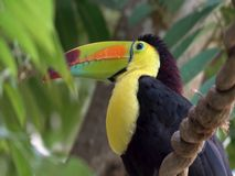 Toucan on the branch in tropical forestl. Exotic, nature. royalty free stock image