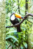 Toucan on the branch in tropical forest of Brazil. Birds Park royalty free stock images
