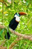Toucan on branches stock photo