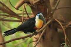toucan Canal-mandada la cuenta Foto de archivo
