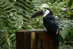 Toucan Canale-fatturato immagini stock