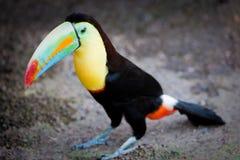 Toucan che si leva in piedi sulla terra Immagini Stock Libere da Diritti