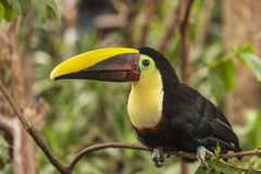 Toucan Chestnut-mandibled Stock Photography