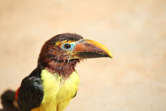 Toucan chick. S - the bird with big bill Stock Photo