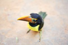Toucan chick Stock Images