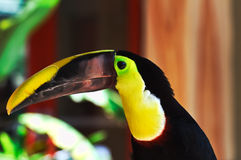 Toucan Close up Stock Photography