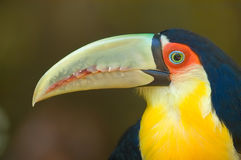 Toucan Close-up. Red Breasted Toucan Close-up stock image