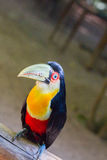 Toucan Stock Photo