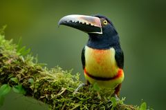 Toucan Collared Aracari, torquatus Pteroglossus, птица с большим счетом Toucan сидя на ветви мха в лесе, Boca Tapada, Стоковые Фото
