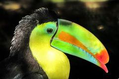 Toucan. Colored beak of a toucan in a zoo Royalty Free Stock Image